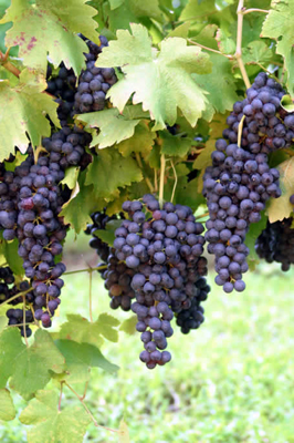 HangingGrapes