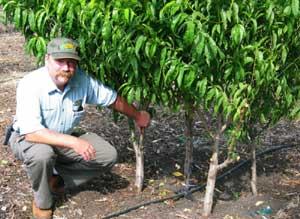 High Density Planting System For Fruit Orchard Hobby