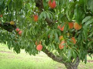 angelus-peach